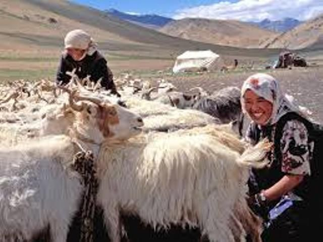 Pashmina Antelope Goats From Which The Pashmina Raw Fleece Is Obtained In Kashmir At Varasat1 Gmail Com Pashmina Wrap Pashmina Pashmina Shawl