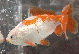 Excellent Jikin Goldfish Aquarium Fish Water Animals