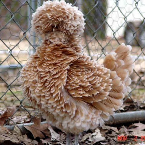 دجاج متأنق وجذاب الدجاج