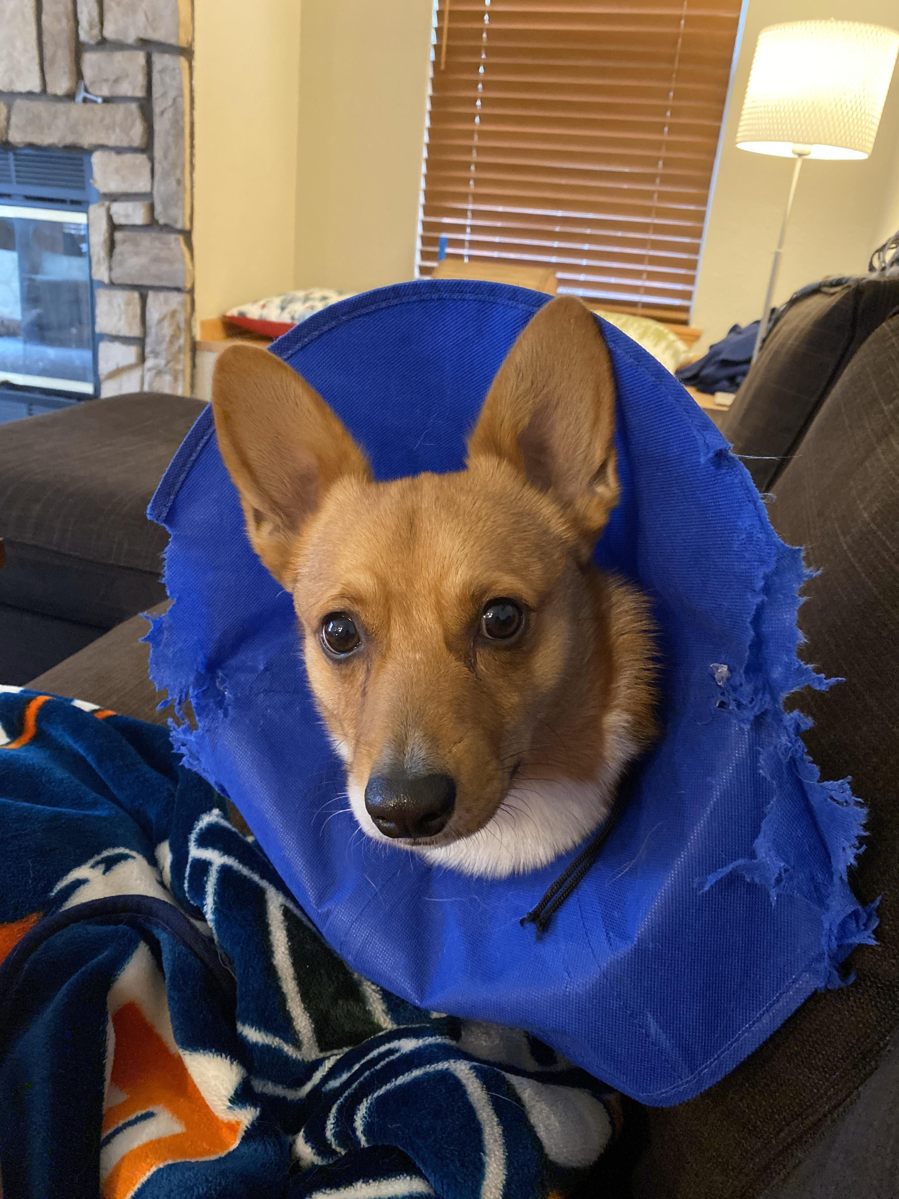 24 hours post surgery. Rocket's doing great, cone.