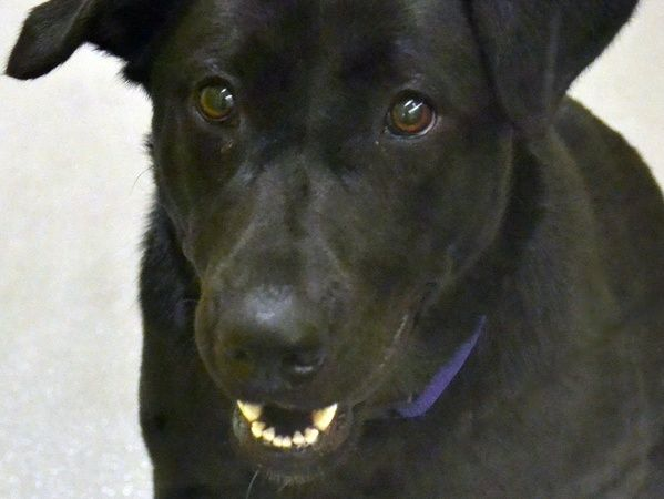 SPCA's Lacy the Labrador is looking for a fun new fam