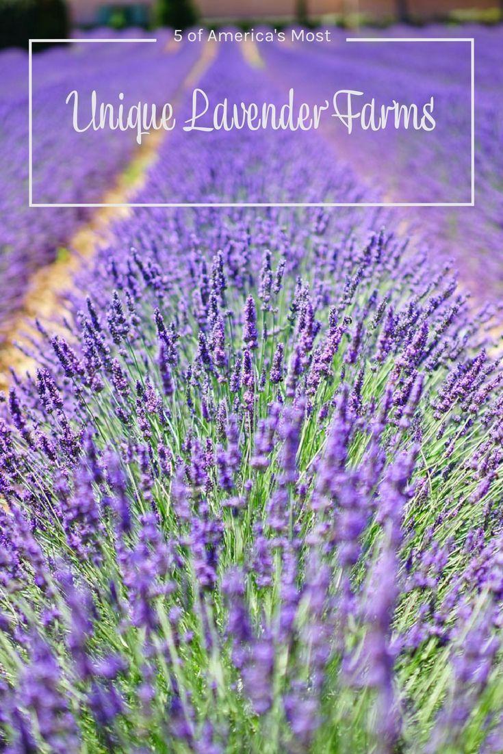 5 Unique Lavender Fields and Lavender Farms in the USA