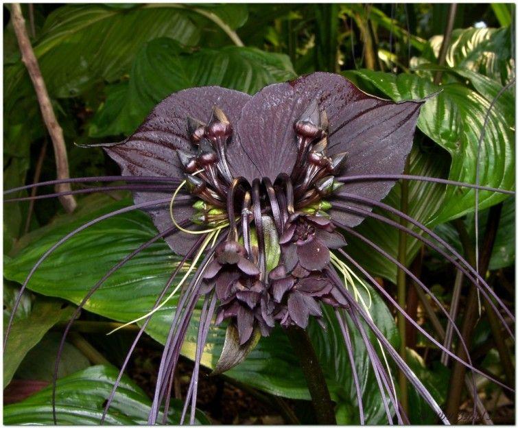 Las 15 Flores Más Exóticas Del Mundo Bioguia Flores Exóticas Orquídea Negra Bigote De Gato