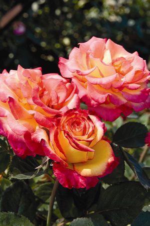 Star Roses Plants Flower Seeds Garden Plants Design Flowers
