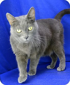 Lafayette La Russian Blue Meet Gracie A Cat For Adoption Http Www Adoptapet Com Pet 18204428 Lafayette Louisia Russian Blue Pets Cat Adoption