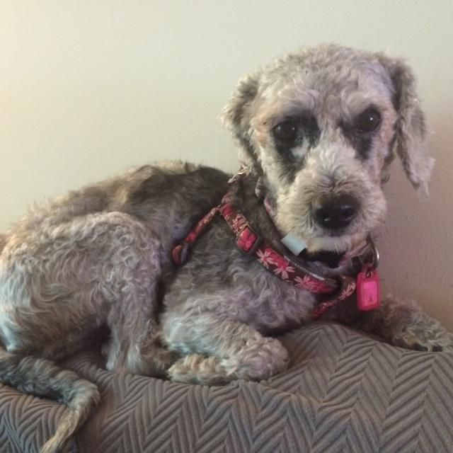 Meet Ernie, a Petfinder adoptable Poodle Dog | Greenbelt, MD | This little guy is ready for a new life of kindness. His beginnings were with a family that did not...