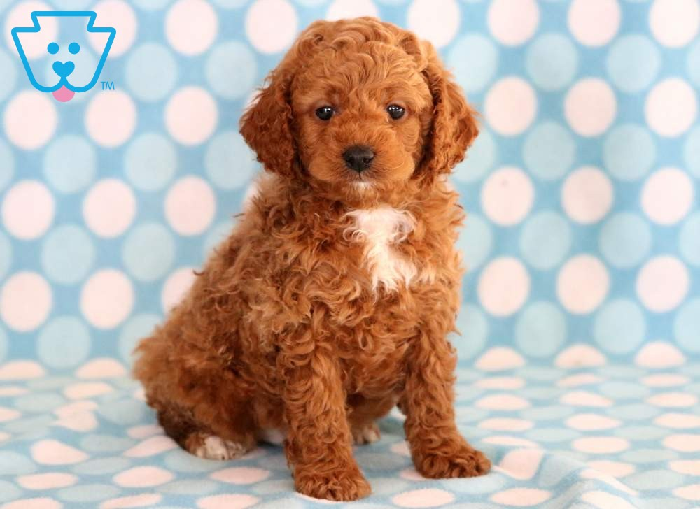 Captain In 2020 Cockapoo Puppies For Sale Cockapoo Puppies Puppies For Sale