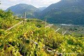 Südtirol, Premstaller Hof, Gertrud Vogel, Wein, Trauben