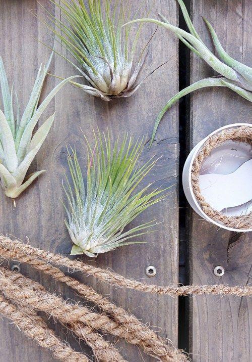 Tillandsien wundersch ne luftpflanzen blog posts von mymorningsun pinterest - Tillandsien deko ...