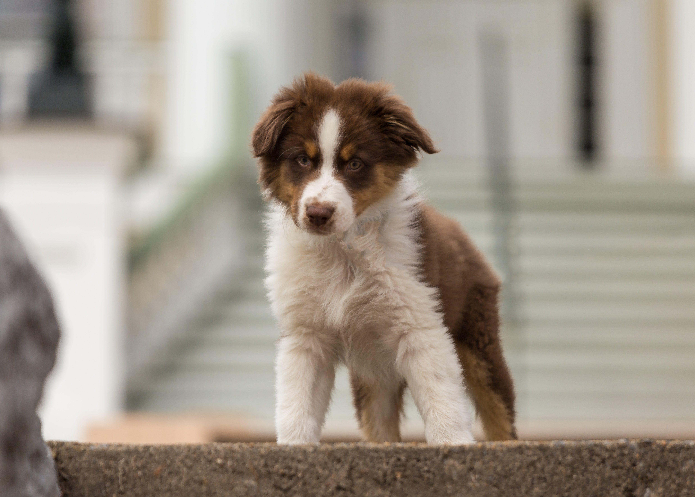 Australian Shepherd Puppies Pictures And Facts Australian