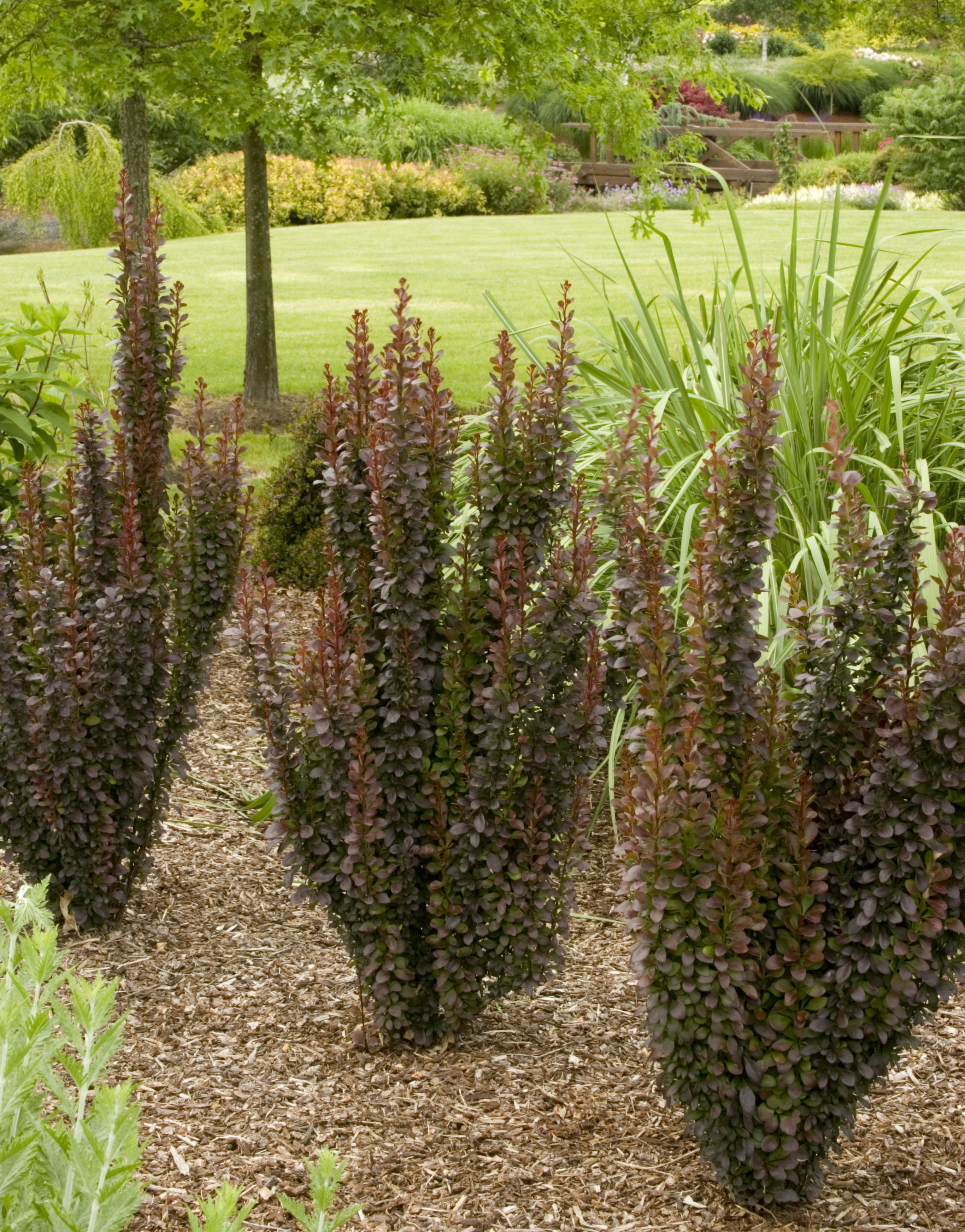Barberry Bushes In Front Of House House Landscape Front Landscaping Front Yard Landscaping