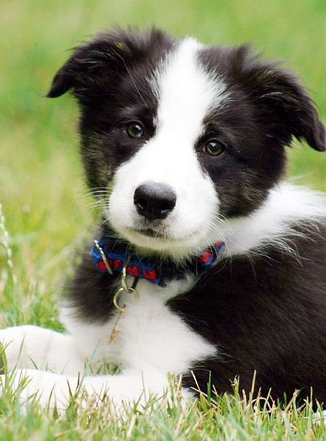Solarhead Collie Puppies Dogs Beautiful Dogs