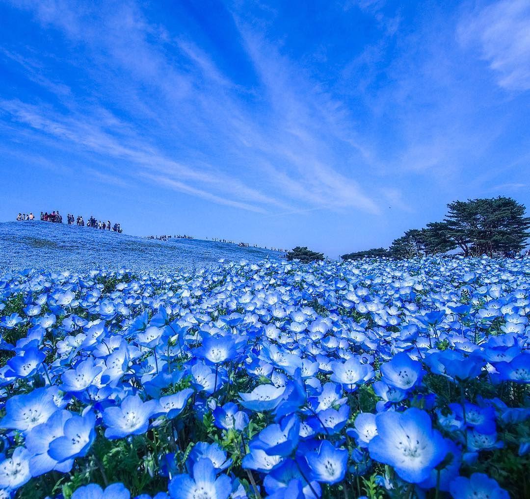 茨城県 ひたち海浜公園のネモフィラ 花 壁紙 美しい花 青い花