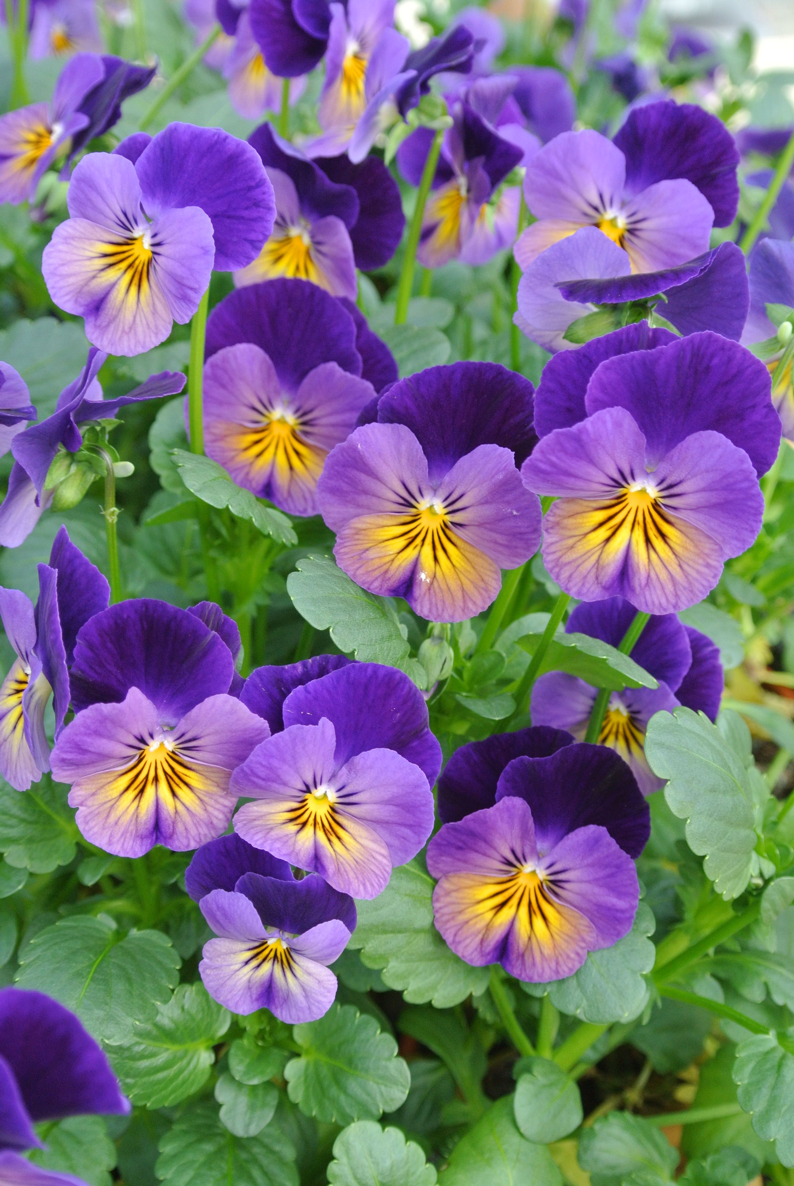 Viola 'Celestial™ Northern Lights'