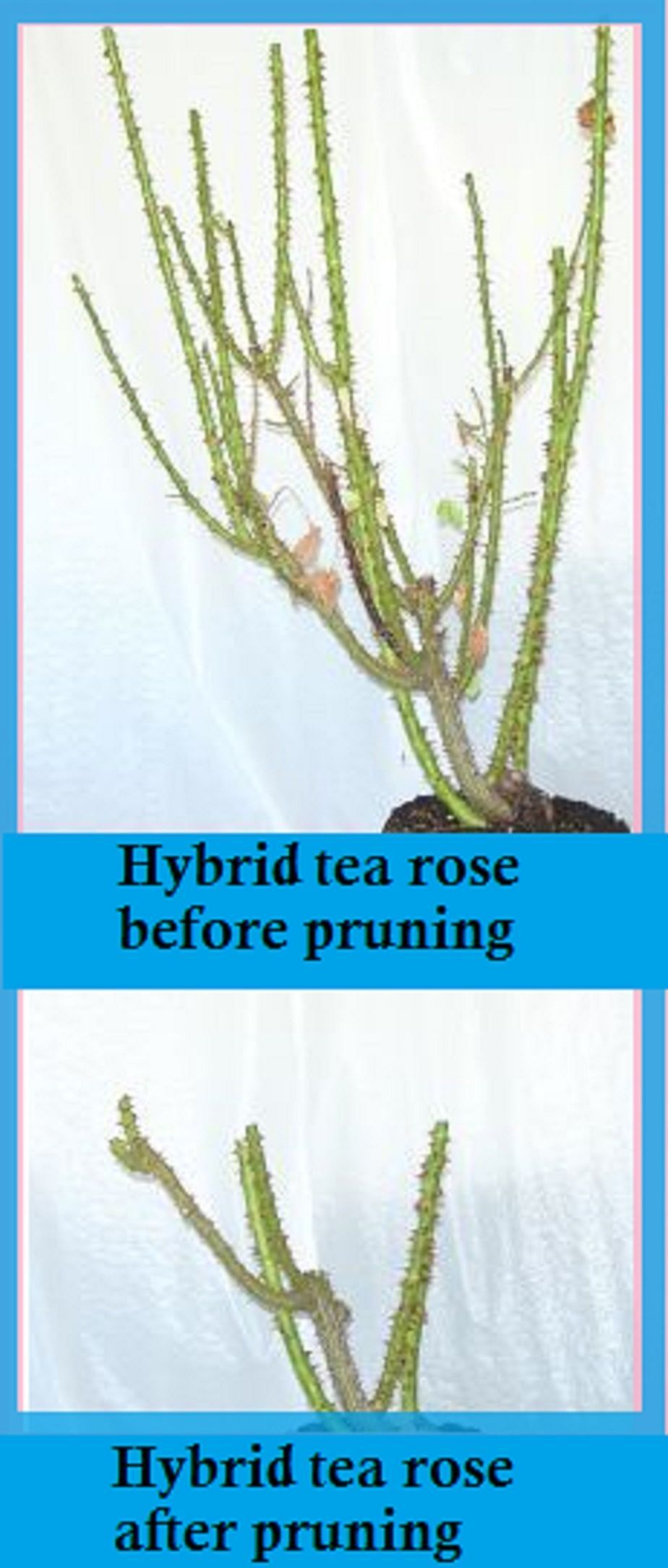 How to prune hybrid tea roses excellent information on rose care
