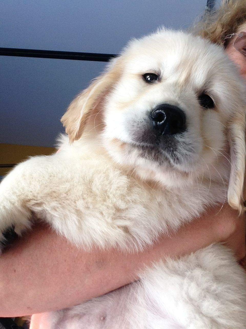 English Cream Retriever Puppies for sale in Southern Maine