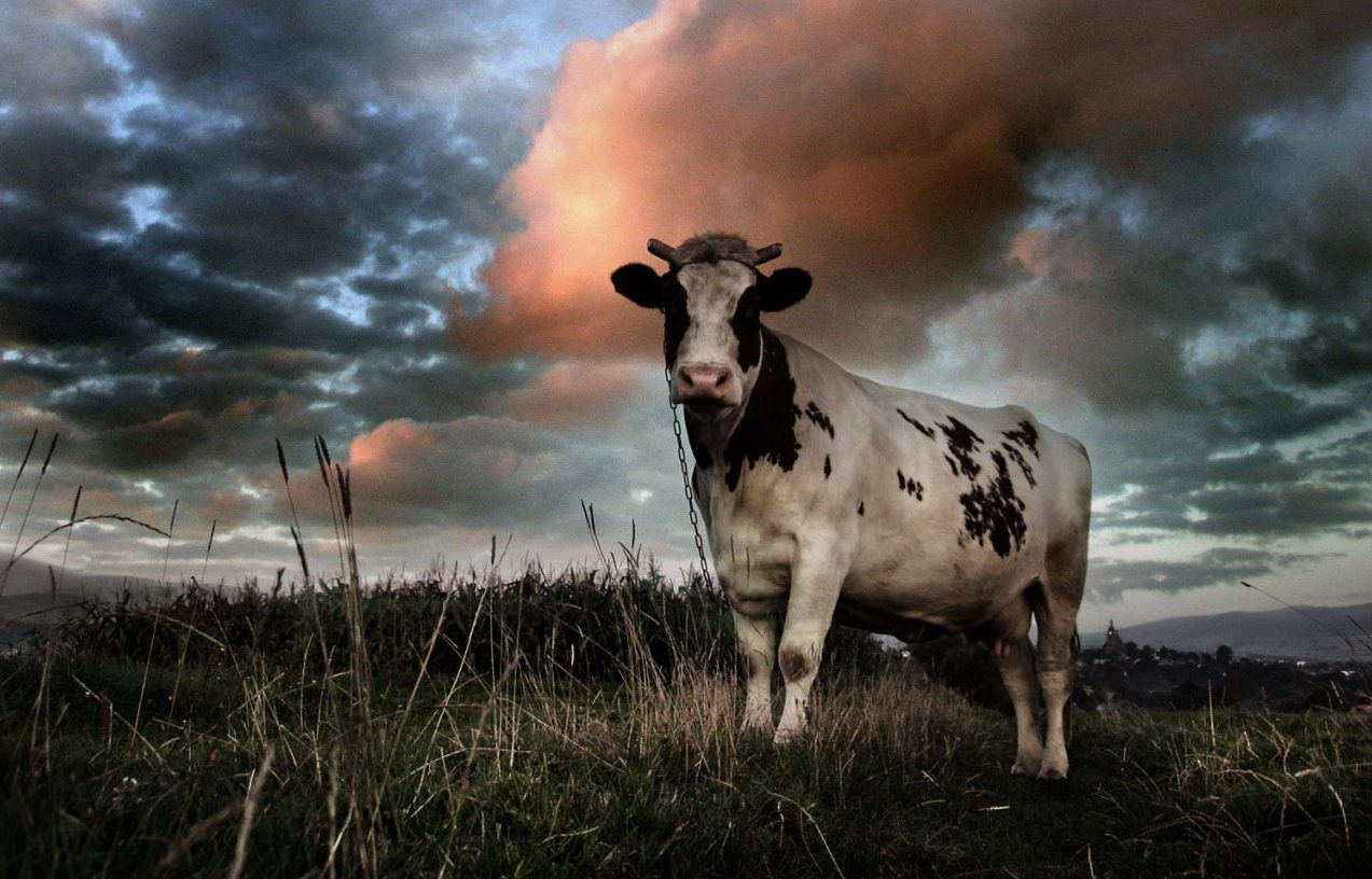Pin By Wendy Botts On Lololol Funny Cow Pictures Cows Funny Funny Animal Memes