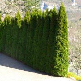 thuya emeraude thuja occidentalis 39 emeraude 39 feuillage pinterest plante exterieur. Black Bedroom Furniture Sets. Home Design Ideas
