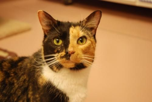 Adopt Caroline On Petfinder Cat Adoption Cat Today Animal Welfare League
