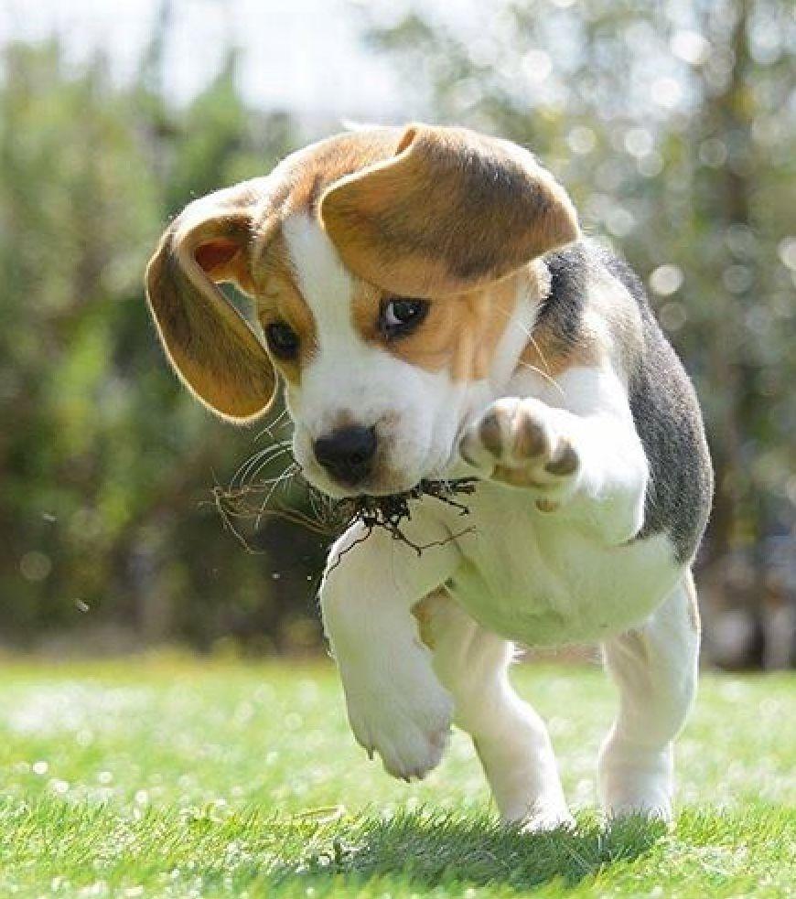 Oliver Playfully Running Beagle Mix Beagle Puppy Beagle Dog