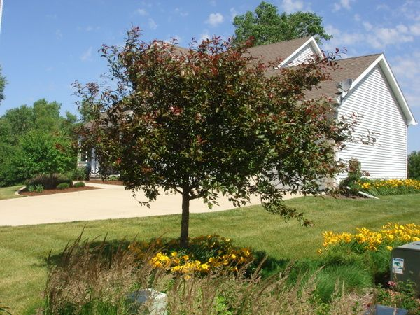 Crabapple Tree Summer