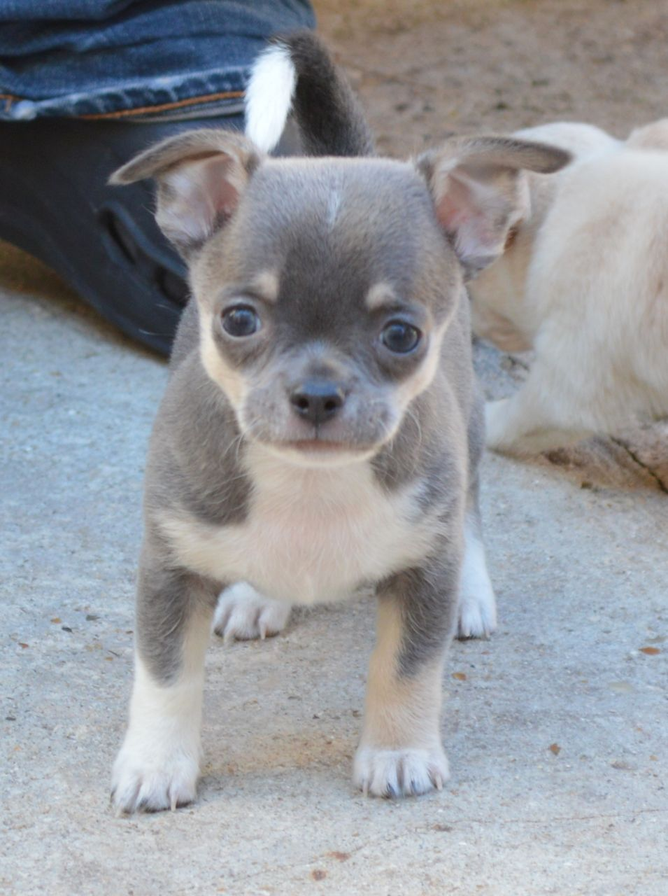 Blue Cream Chihuahua Dog Care Chihuahua Puppies Puppies
