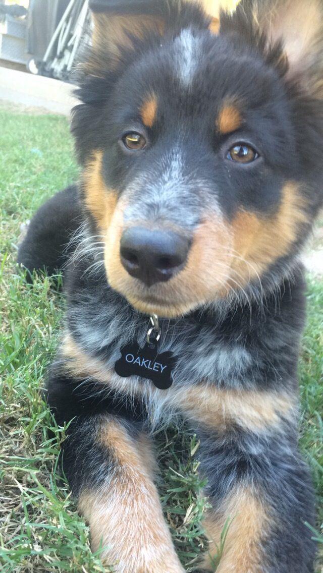 Oakley Australian Shepard Blue Heeler Mix Dogs Heeler
