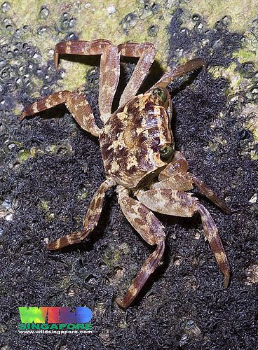 ˚Mangrove tree-dwelling crab Selatium brocki