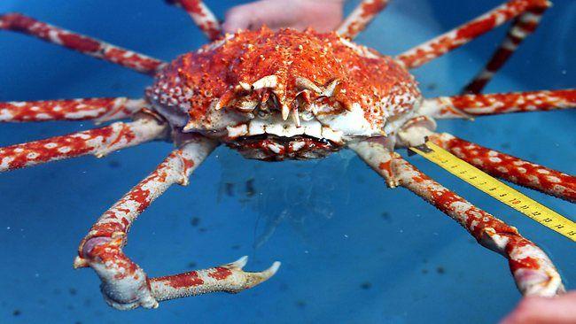 weird animals japanese spider crab