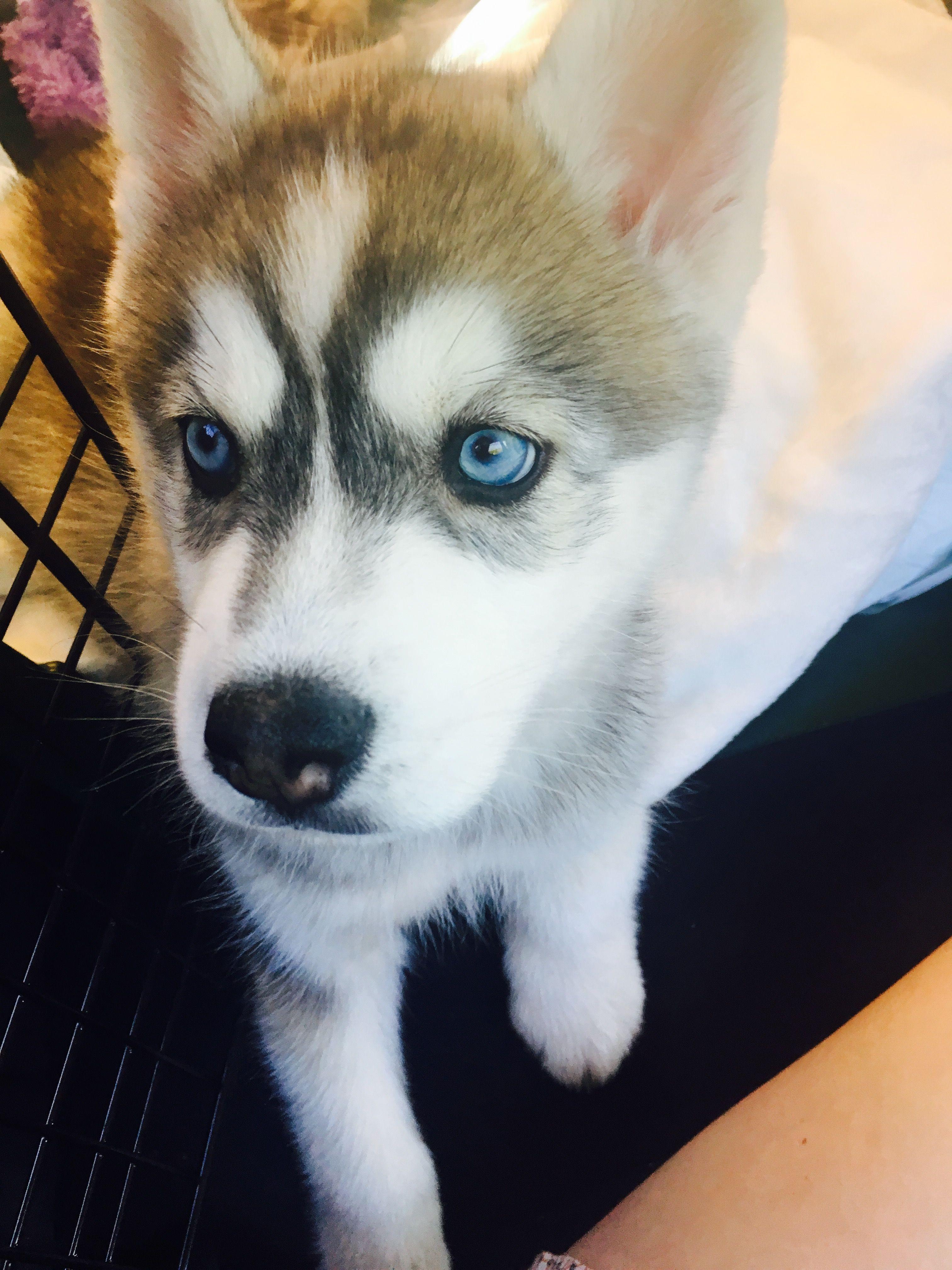Find On Instagram Blue Ridge Bea Siberian Husky Puppy Husky