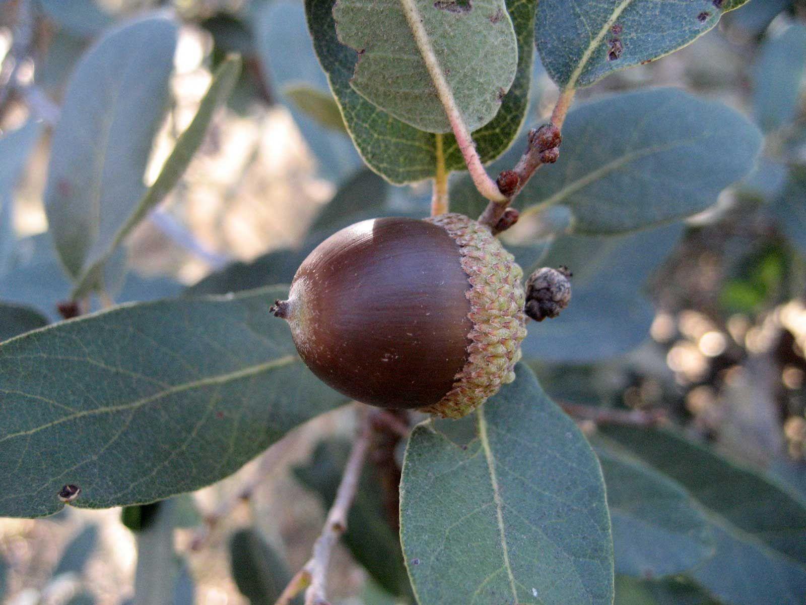 Engelmann Oak (Quercus engelmannii) in 2020 Endangered