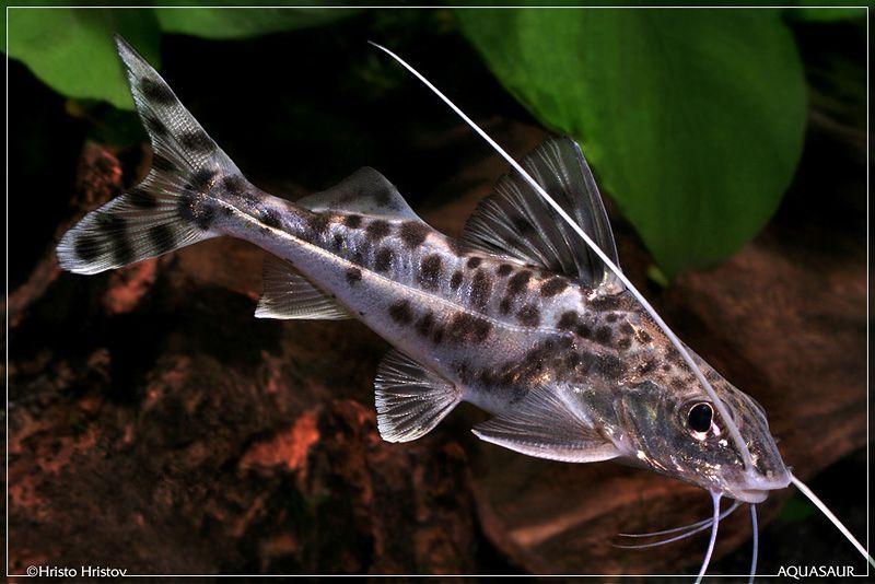 Are You Aware Of What Pictus Catfish Really Is Well A Pictus Catfish Is A Small Type Of Catfish That Aquarium Catfish Tropical Freshwater Fish Aquarium Fish