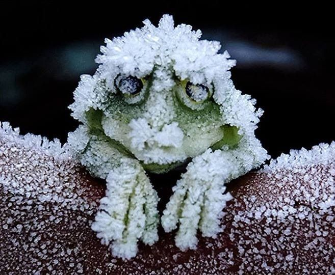Alaskan Wood Frog becomes a frog-shaped block of ice During the cold winters. It stops breathing, and its heart stops beating. When Spring arrives the frog thaws and returns to normal going along its merry way. Amazing