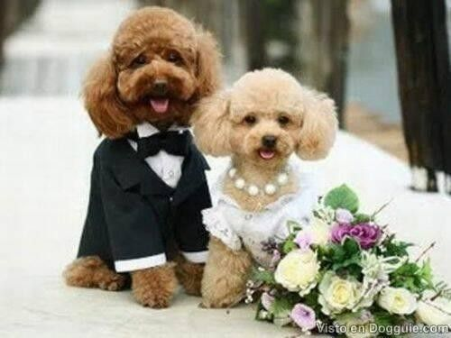 Dog wedding outfits - Dog Clothes For Wedding Dog Weddings Are Super Cute - Check Out