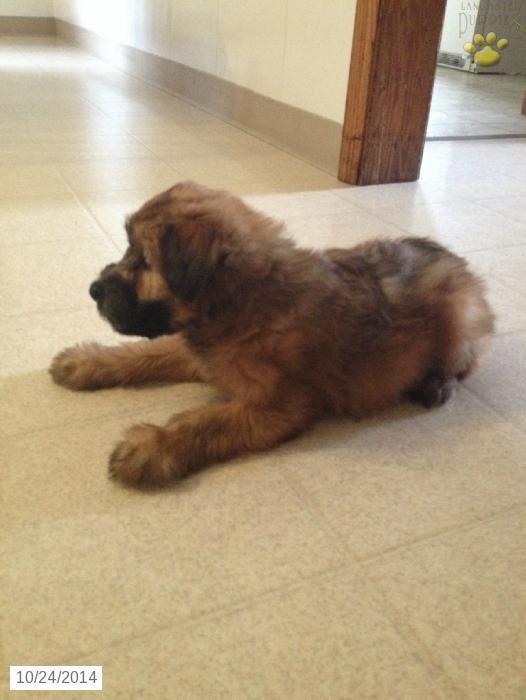Soft Coated Wheaten Terrier Puppy For Sale In Ohio Wheaten
