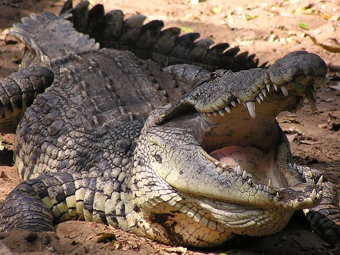 Gustave Crocodile National Geographic