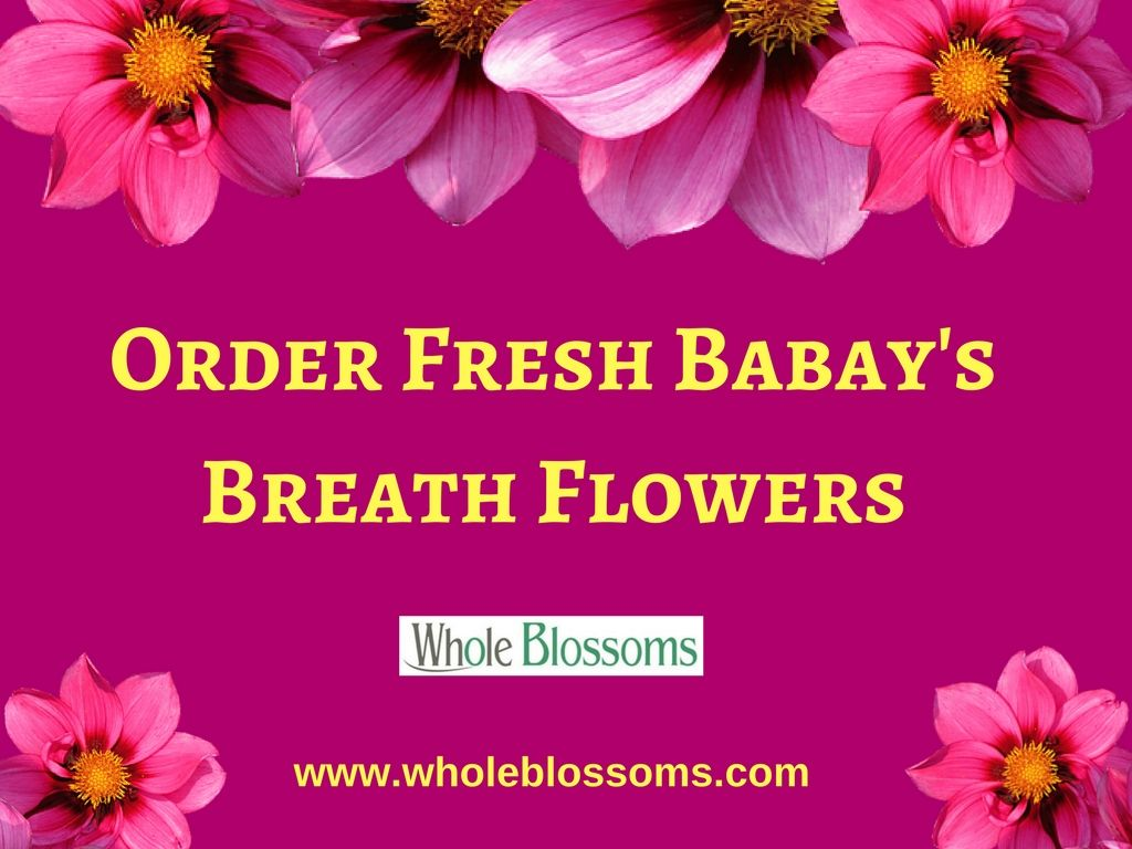 If You Want To Buy Fresh Babys Breath Wholesale Flowers Online