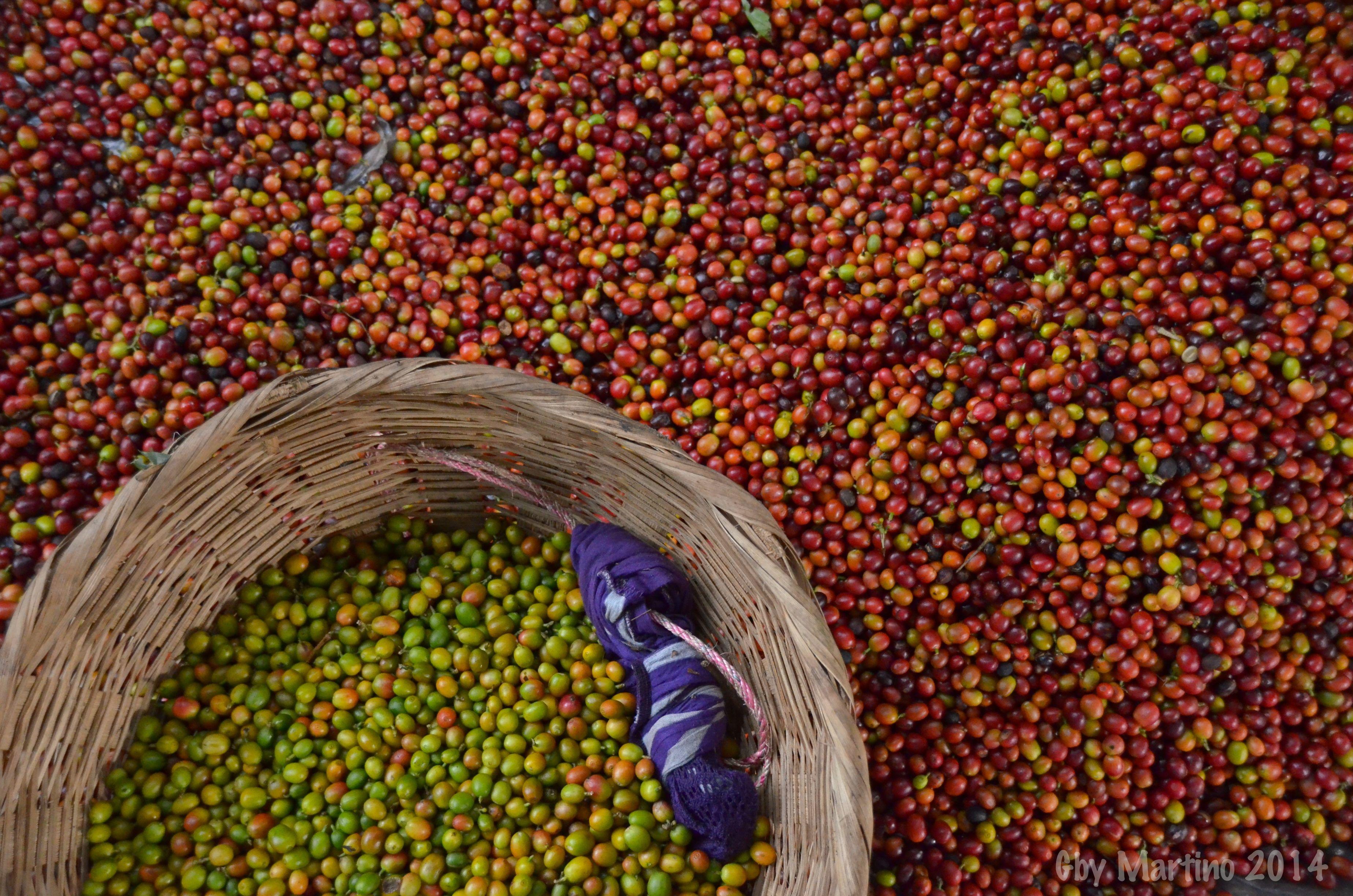 Coffee Farm Plantation El Salvador, Central America Finca Ayutepeque