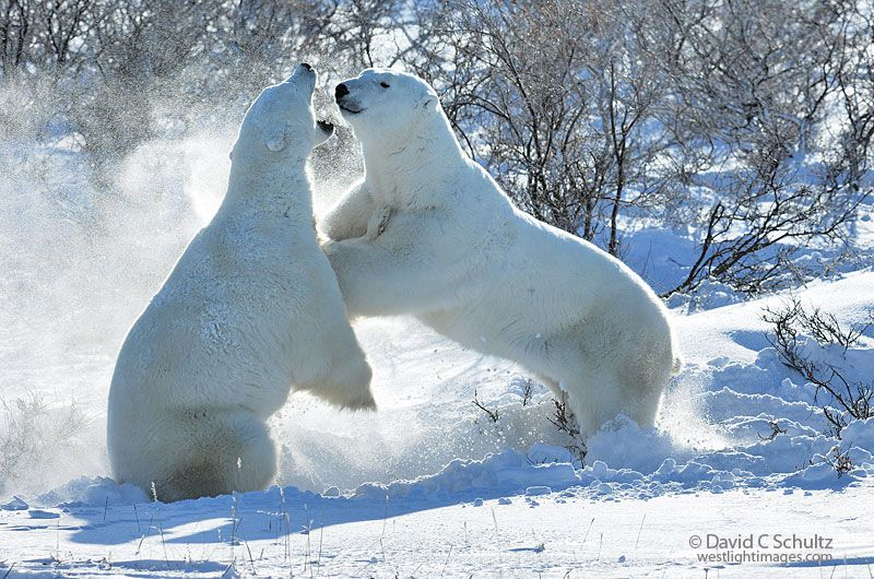 Two polar bears sparring, play fighting, in the Wapusk