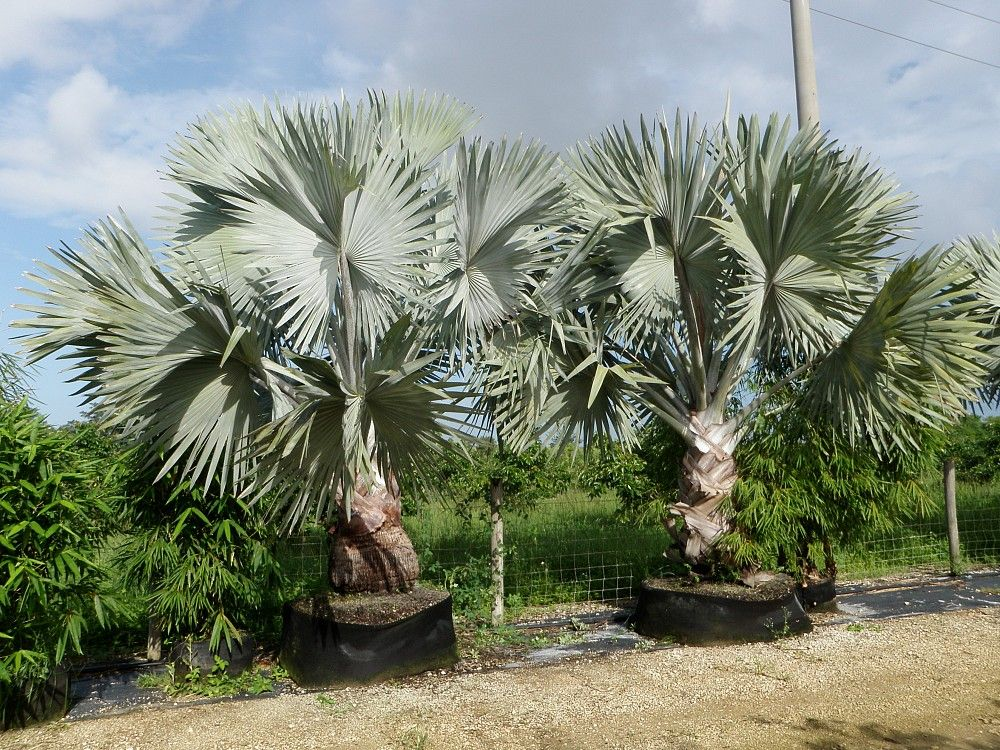 Tropical Plant Nursery Wholesale Miami Florida Silver