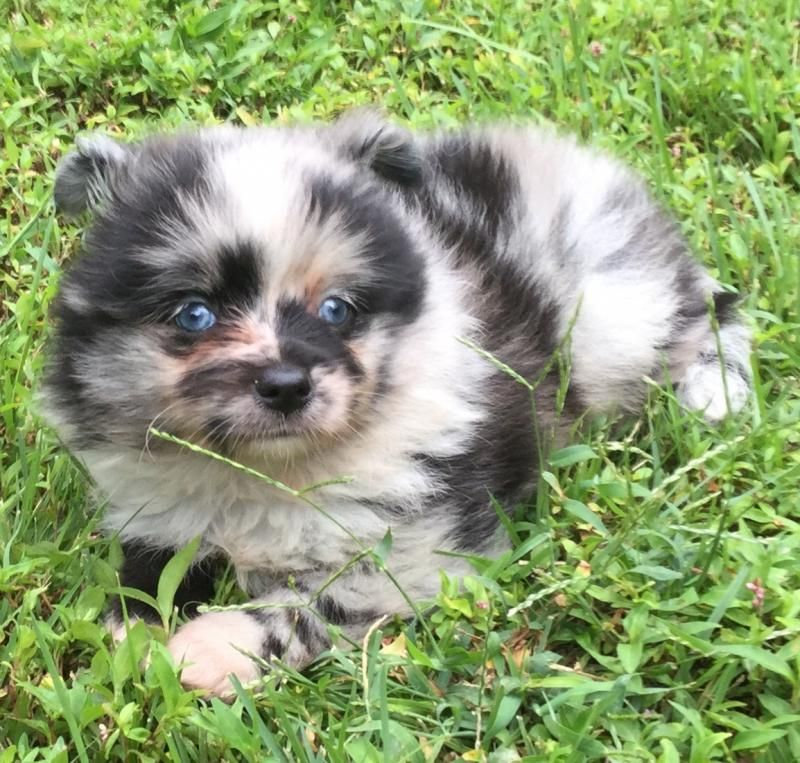pomeranian mini australian shepherd mix for sale pomeranian and mini australian shepherd aussiepom 9154