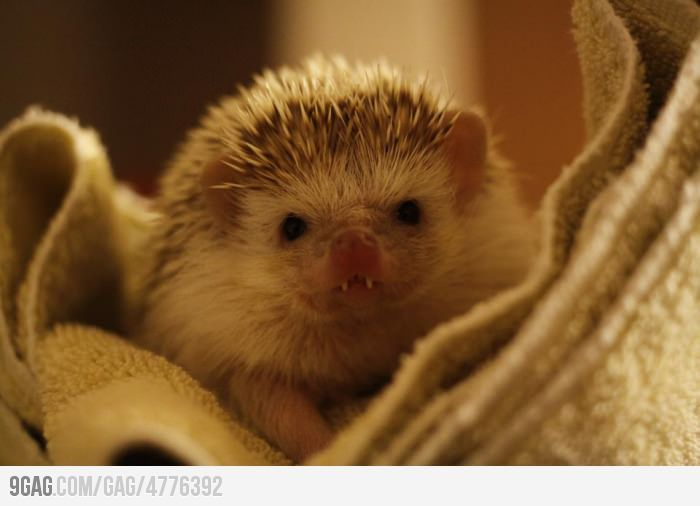 This baby hedgehog has vampire teeth