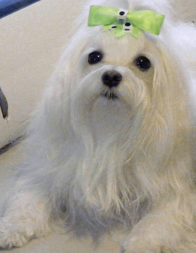Such A Pretty Pup Maltese Dogs Dogs Puppies White Puppies