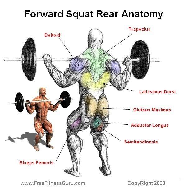Squats Muscle Used Anatomy Sweat Workout Muscle Anatomy