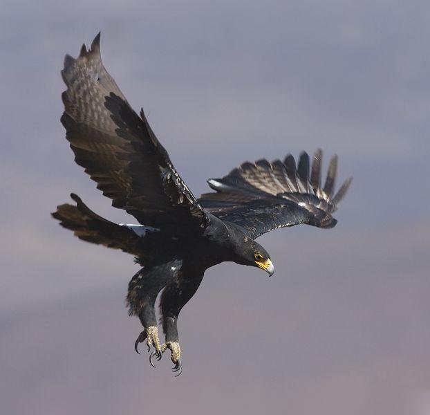 Black eagle - Wikipedia