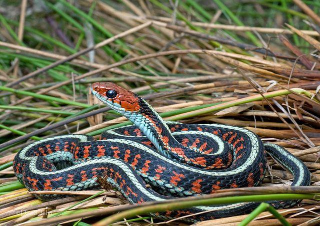 California Red Sided Garter Serpientes Coloridas Serpientes