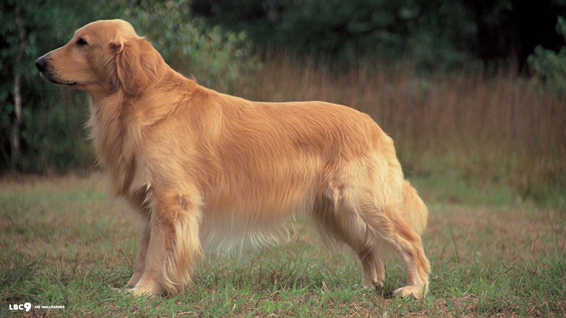 Con Cho Vang Golden Retriever Breed Golden Retriever Dog Breeds