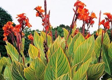 """canna lily """"pretoria"""" live plant"""