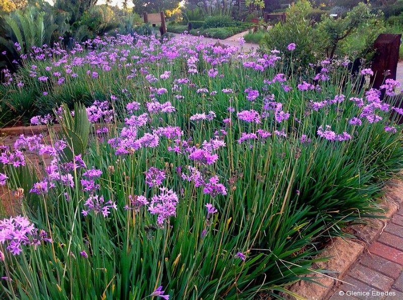 Tulbaghia Violacea Wild Garlic Plantbook Water Wise