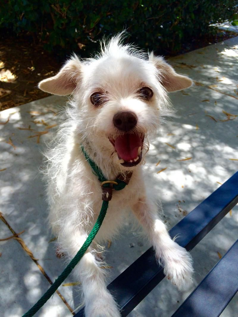 Adopt Gary on Poodle mix dogs, Animal rescue, Poodle mix